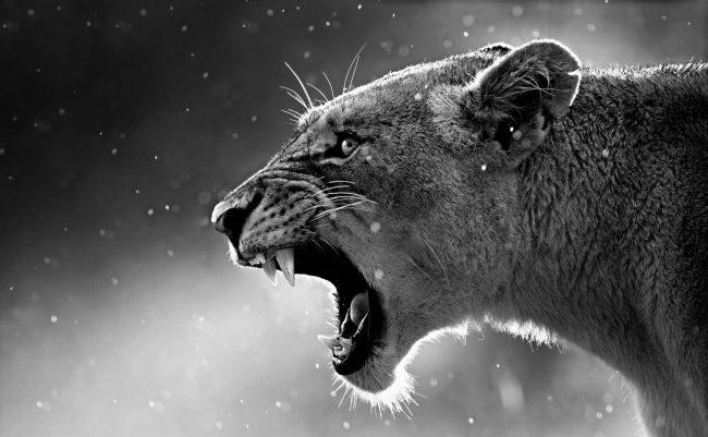 lioness_3-wallpaper-1280x8001